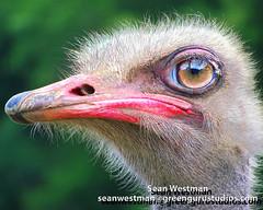 MyBabyBird4 (greengurustudios) Tags: bird animal zoo ostrich featherless