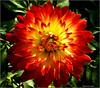Dahlia (West County Camera) Tags: dahlia beautysecret aplusphoto macroflowerlovers excellentsflowers exquisiteimage mimamorflowers awesomeblossoms vosplusbellesphotos flickrflorescloseupmacros