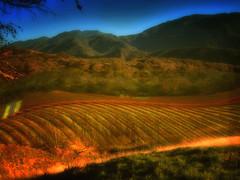 Vinyard at sunset (ddk4runner) Tags: ca winter light sunset nature landscape vines hills grape rolling vinyard ddk4runner ©copyrightdonnakerley ©donnakerley ©ddk4runner çddkstudio