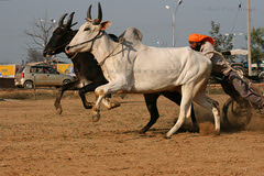 Bullock Cart Racing - Freeze Action (Ajit Pal Singh) Tags: two horses india tractor game history sports sport festival youth rural speed photo dance high construction war colorful village bullock action folk bare events traditional religion culture mini games event riding winner vehicle warrior effort tug olympics sikh cart agriculture punjab popular 2009 schedule kila sponsor bravery agricultural daredevil stunt bhangra deliver courage gallop daring gallary implements ludhiana compete galloping quila footed grewal kabbadi raipur giddha kilaraipur tractive qilaraipur