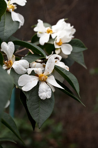 Wild Camellia yuhsienensis Hu (攸县油茶) from the garden of John Wang