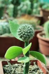 eriosyce villosa (Francisco Anabalón) Tags: grafted villosa graft eriosyce injerto pereskiopsis injertado