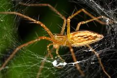 Jeram Perahu 2009 | Lynx spider in web (#90)