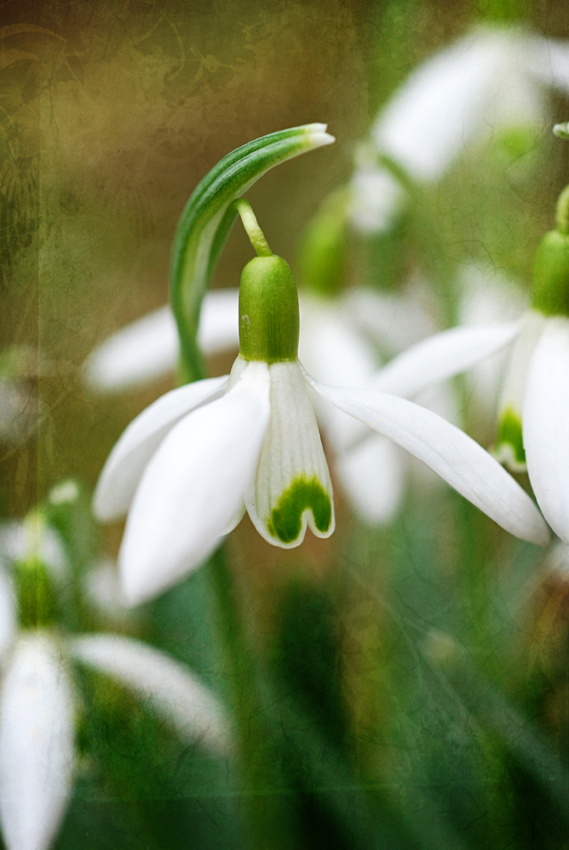 Snowdrop