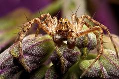 Male Lynx Spider (Oxyopes scalaris) (M. Shaw) Tags: macro nature canon bug insect spider eyes jumper lynx focusstack oxyopes scalaris 40d anawesomeshot macrolife awesomebug excapturemacro dofstacking fantasticinsect notyournormalbug 65mm15x
