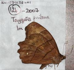 Taygetomorpha puritana
