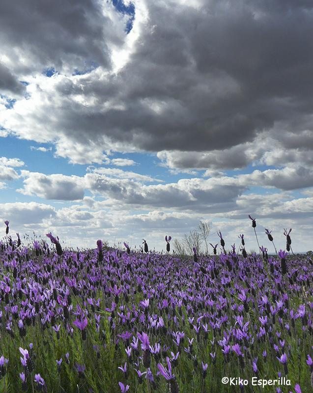 Campo en lila