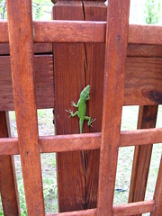 Lizard on the deck