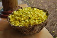 kanokonna in basket (prasanthabythomas) Tags: flower basket kerala kanikonna