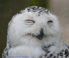 It's the way I tell em... (law_keven) Tags: england white smile birds suffolk dof bokeh feathers owl wink avian feathery snowyowl featheryfriday explore500 suffolkowlsanctuary
