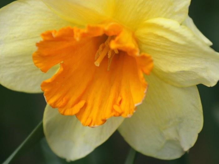 04-16-daffodils2
