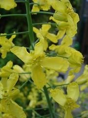 De gele bloemen van de boerenkool