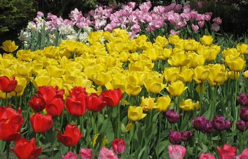Skagit Tulips - 30