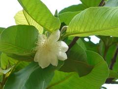Amrud (Hindi: अमरूद) (dinesh_valke) Tags: tree peru evergreen tropical guava amba myrtaceae bihi runi psidiumguajava myrtlefamily jamrukh appleguava goyyapandu koyya pairr pungton peyara amrood amrud guaiavapyriformis guajavapyrifera psidiumfragrans psidiumpyriferum psidiumpomiferum psidiumsapidissimum psidiumaromaticum jaamkal kawiâm kâwlthei madhuriaam pearaley peerakka uyyakkontan