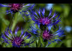 Purple Vibrance (Owen's) Tags: blue en flower macro green nature stem day dof purple head extreme seed best petal crisp telephoto crop stalk hdr the 55200 gnn frhwofavs iyisi