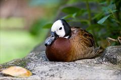 white-faced whistling duck (Toni_V) Tags: macro bird animal zoo schweiz switzerland duck nikon rainforest europe dof suisse bokeh zurich gans zürich 2009 birdwatcher d300 105mm masoala whitefacedduck dendrocygneveuf toniv witwenpfeifgans 090510