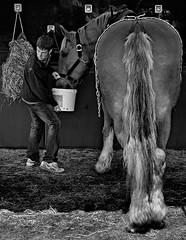 Suffolk Punch (KJ3 apparently) Tags: blackandwhite horse animal mono farm candid transport documentary