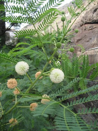 SH plant