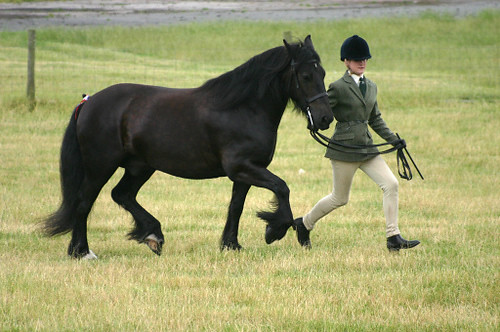3545783851 92076de724 Dales pony horse breed  calm, brave and useful