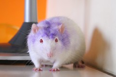 Super Beethoven! (Honey Pie!) Tags: rat mask beethoven albino redeyes fancyrat ratazana olhosvermelhos