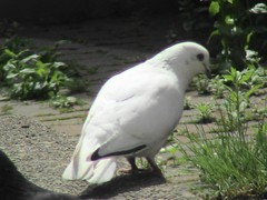 Rare White Pigeon (Chrisser) Tags: travel vacation canada bird nature birds quebec montreal pigeon pigeons goldseal sonydcrsr62 sonyphotographing sonyphotosallday newgoldseal