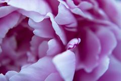 peony (mintyfreshflavor) Tags: flower macro virginia peony macromay