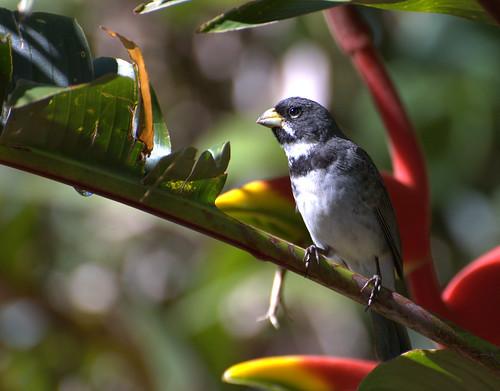 フリー画像| 動物写真| 鳥類| 野鳥| フタスジヒメウソ|       フリー素材|