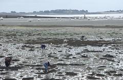 Gathering cockles (kiwigirl) Tags: france seashells brittany bretagne stpoldelon