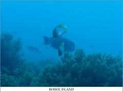 FISH (TACO1978) Tags: dive bohol panglao balicasag