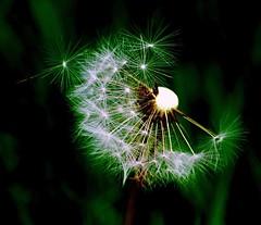 Pixie Dust (MarDodd) Tags: flowers flower nature puff dandelion seeds seedhead asteraceae taraxacum makeawish dandelionseeds blueribbonwinner pixiedust platinumheartaward nikonflickraward
