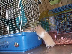 """""""HAHA!I'm out of my cage and you're NOT!""""-Bunch talking to CJ (AlohiMauie) Tags: pet pets white cute fur rodent sweet tan cream adorable cj hamster bunch haha paws rodents hamsters hammy hammies hamham hammie carmeljr cageout"""