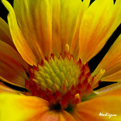 Gaillarde - Blanket Flower (monteregina) Tags: flowers orange plants canada flower macro texture closeup fleurs petals spring details center qubec sunflowers gaillardia printemps asteraceae plantes blanketflower onblack indianblanket ptales plantea fillframe gaillarde monteregina astraces mexicanskirts sunflowerheart