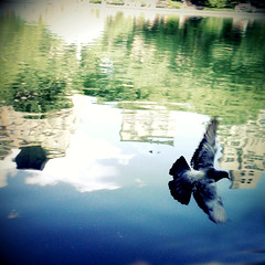 """""""Flying over water"""" (Sion Fullana) Tags: newyork reflection water square fly flying pond centralpark pigeon creative squareformat reflejo helga reflexions allrightsreserved iphone 500x500 reflectioninwater creativeshots the4elements pigeonflying iphonephotography iphoneshots sionfullana camerabagapp sionfullanasphotography iphoneography iphoneographer sionfullana helgastyle throughthelensofaniphone"""