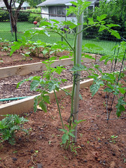 training tomatoes to one stem