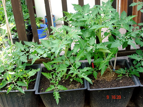 Meine diversen Tomaten im Kübel
