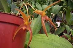 Bulbophyllum Tsiku Taurus (dwittkower) Tags: orchid flower flora orchids orchidaceae orquideas orchidée bulbophyllum bulbo orqudea