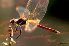 Contraluz (GonzalezNovo) Tags: art textura contraluz fly natural libelula vuelo composicin capas  fusin pwmelilla