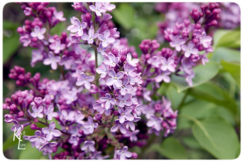 Day 116 - My Lilacs