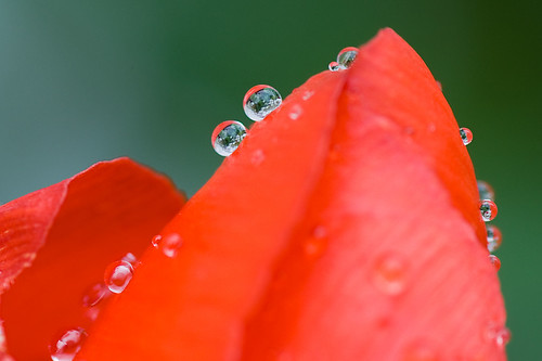 Tulipán con gotas / Tulip with drops