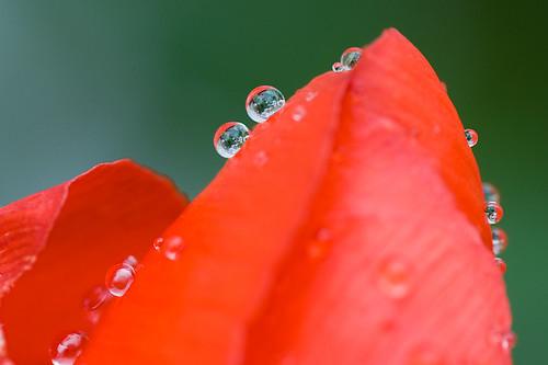 Tulipán con gotas / Tulip with drops