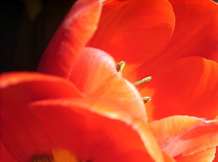 (petalpusher61) Tags: flowers ohio red nature tulip