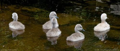 Orillia - Mute Swan Babes 2009