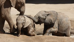 More elephant fun in the mud pit (San Diego Shooter) Tags: sandiego elephants sandiegozoo safaripark sandiegowildanimalpark elephantfamily babyelephant babyelephants sandiegozoosafaripark sandiegosafaripark