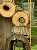 Lazuli Bunting (boisebluebird) Tags: wood hole boise latex grosbeak crunchy lazuli blackheadedgrosbeak lazulibuntings boisemovieman michaeltoolson boisebluebird boisebluebirdcom httpwwwboisebluebirdcom boiselandscaping boisegardener