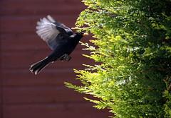 Homeward Bound (rv3child) Tags: flying inflight landing blackbird cleveleys birdinflight homewardbound birdlandi