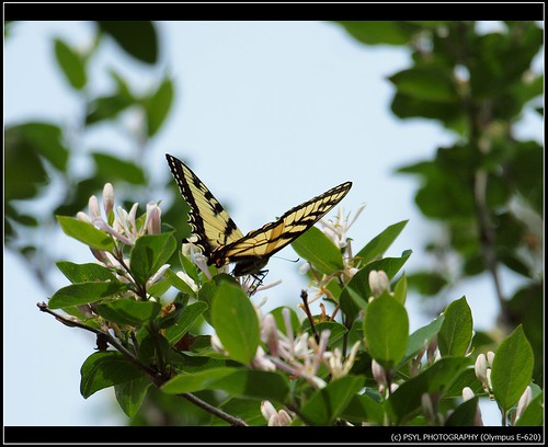 Eastern Tiger Swallowtail (Papilio glaucus) 2