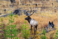 Yellowstone Wildlife (bhophotos) Tags: autumn usa nature animal geotagged nikon wildlife bull yellowstonenationalpark yellowstone wyoming elk ynp d300 80200mmf28dnew