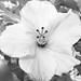Hibiscus BW