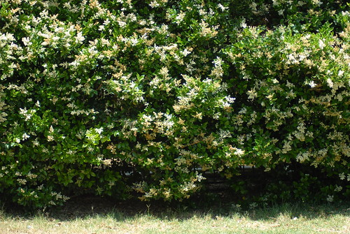 privet wall in full bloom
