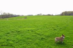 field+corgi